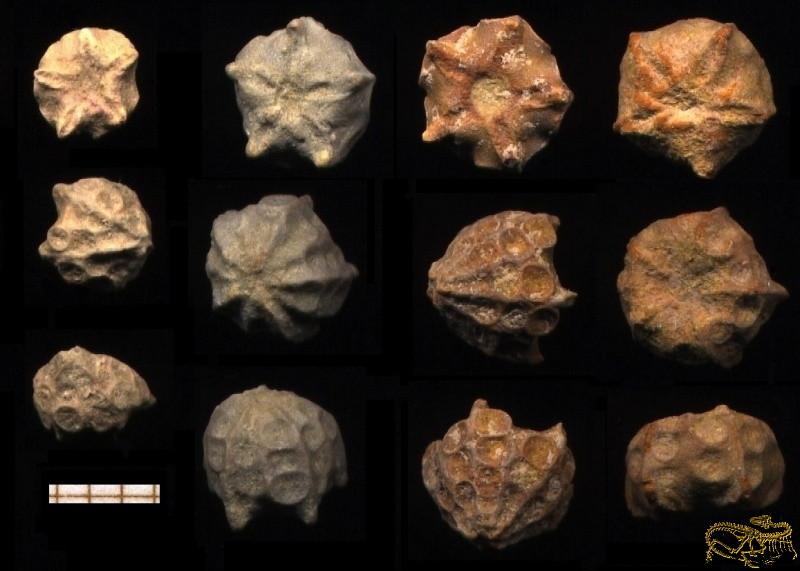0002-Antedon atacicus
